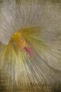 Hollyhock Textures by Kim Klassen