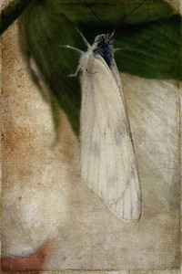 Moth and Hollyhock Textures by Kim Klassen