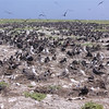 """Restoring the unique seabird nesting grounds found on Phoenix Islands with the help of the aptly named """"rat-slayer"""" mission. Credit New Zealand Ministry of Foreign Affairs and Trade"""
