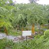 Papayas growing in school garden, Palau. Credit: New Zealand Ministry of Foreign Affairs and Trade