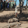 Komodo Dragons eat a goat on Komodo Island during the official inauguration as one of the New7Wonders of Nature. September, Komodo Island, Flores, Nusa Tenggara Timur, 2013. <br /> <br /> Ambassador David Taylor attended along side Indonesian President Susilo Bambang Yudhoyono, New7Wonders Founder-President Bernard Weber, Forestry Minister Zulkifli Hasan, the Governor of East Nusa Tenggara Frans Lebu Raya, delegations from the New7Wonders of Nature host countries, and media.
