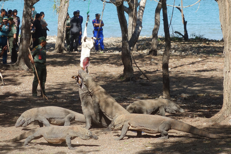 Komodo Dragons eat a goat on Komodo Island during the official inauguration as one of the New7Wonders of Nature. September, Komodo Island, Flores, Nusa Tenggara Timur, 2013.