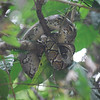 A baby python takes a nap in the trees at Ujung Kulon National Park. April 2011.<br /> <br /> Photo by Hannah Taylor