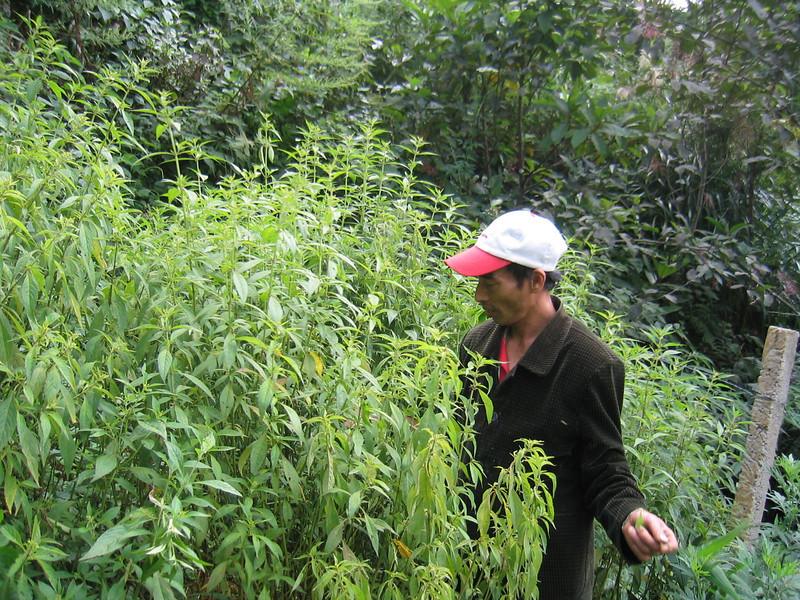 Elsholtzia plants before harvesting - used for traditional medicine and in Vietnamese cooking, Viet Nam. Credit: New Zealand Ministry of Foreign Affairs and Trade