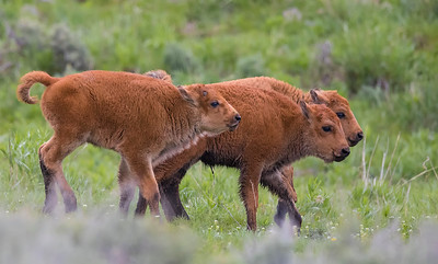 Robert_Cutrupi_3 Bison Calves_Wildlife_LG-2