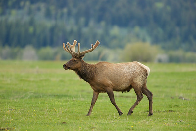 Bull Elk in Spring - Grand Teton National Park, WY