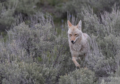 Coyote hunting Prairie dogs at Slough Creek, Yellowstone Park (V1)