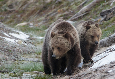 Grizzly Sow with her cub