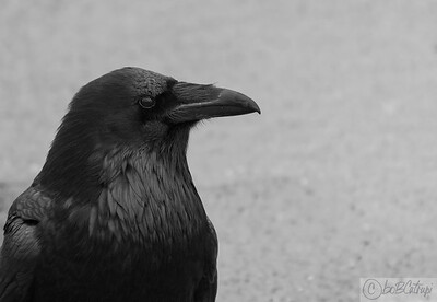 The majestic Raven....