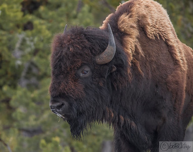 Bull Bison, Near Norris, Yellowstone, WY