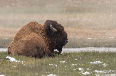 Bull Bison relaxing in a thermal area.
