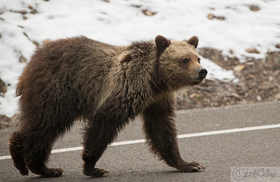 Grizzly Bear cub crossing the road....