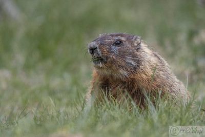 Red Bellied Marmot