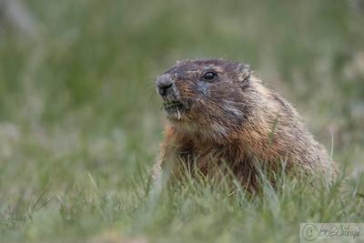 Red Bellied Marmot