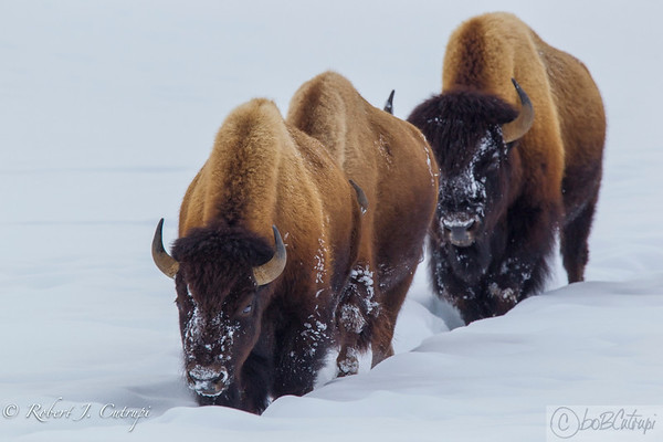 Yellowstone Winter 2017