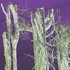 Crosskeys Fir Trees~0058-1sq.