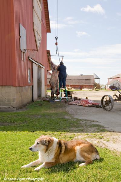 Amish butchering a beef cow near Hazelton, Iowa.<br /> April 08, 2010