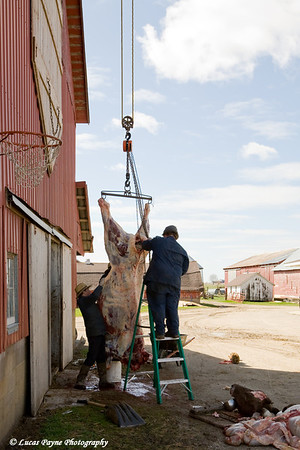 Amish butchering a beef cow near Hazelton, Iowa.<br /> April 08, 2010