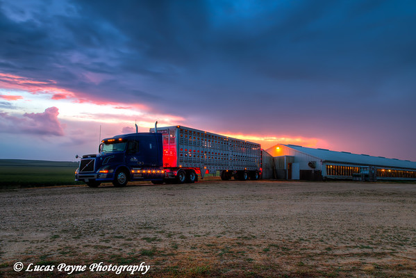 Livestock trailer backed up to a hog confinement building at dawn near Edgewood in Northeast, Iowa<br /> <br /> July 12, 2012