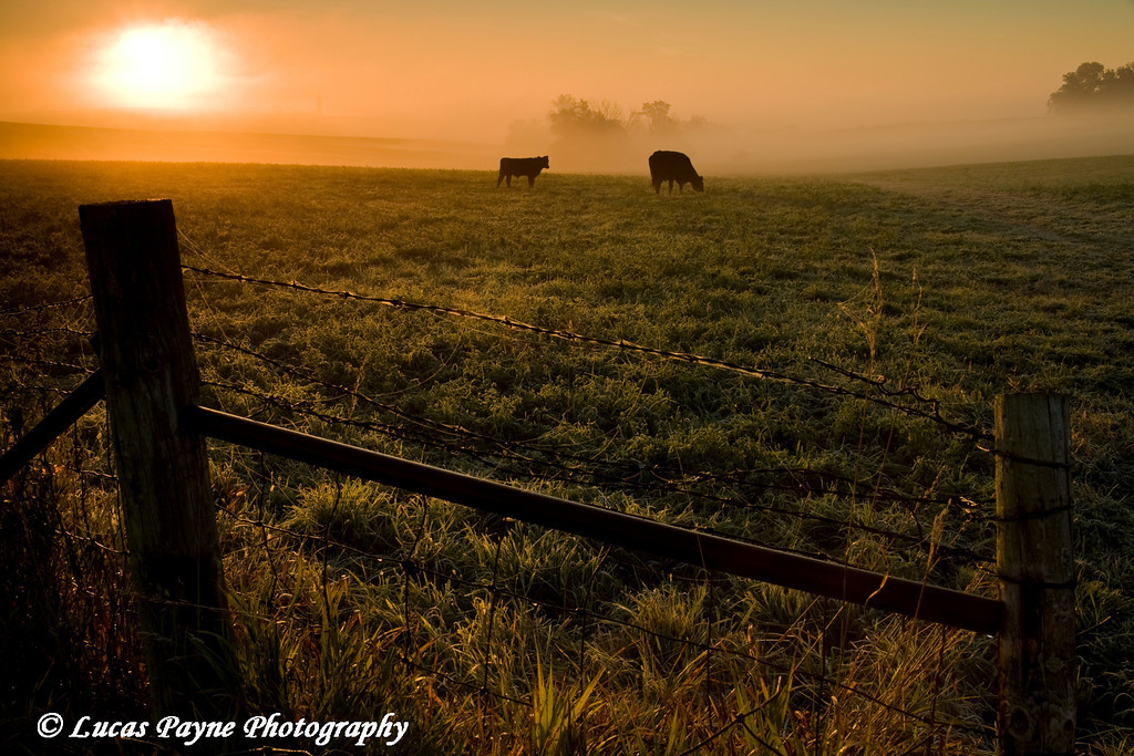 Cattle grazing in a Northeast Iowa field on a foggy morning near Guttenberg, Iowa.<br /> October 4, 2008