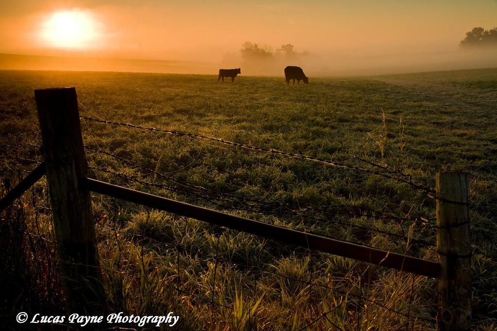 Cattle grazing in a Northeast Iowa field on a foggy morning near Guttenberg, Iowa.<br /> October 4, 2008