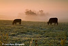 Grazing cattle on a foggy morning in Iowa<br /> October 4, 2008