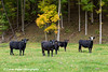 Cattle standing in a pasture with colorful autumn foliage in the background, Northeast Iowa.<br /> <br /> October 20, 2013