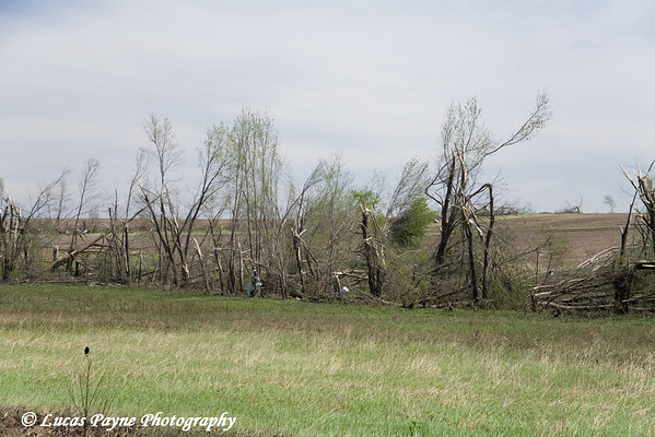 Trees snapped in half between Fairbank and Hazelton, Iowa.