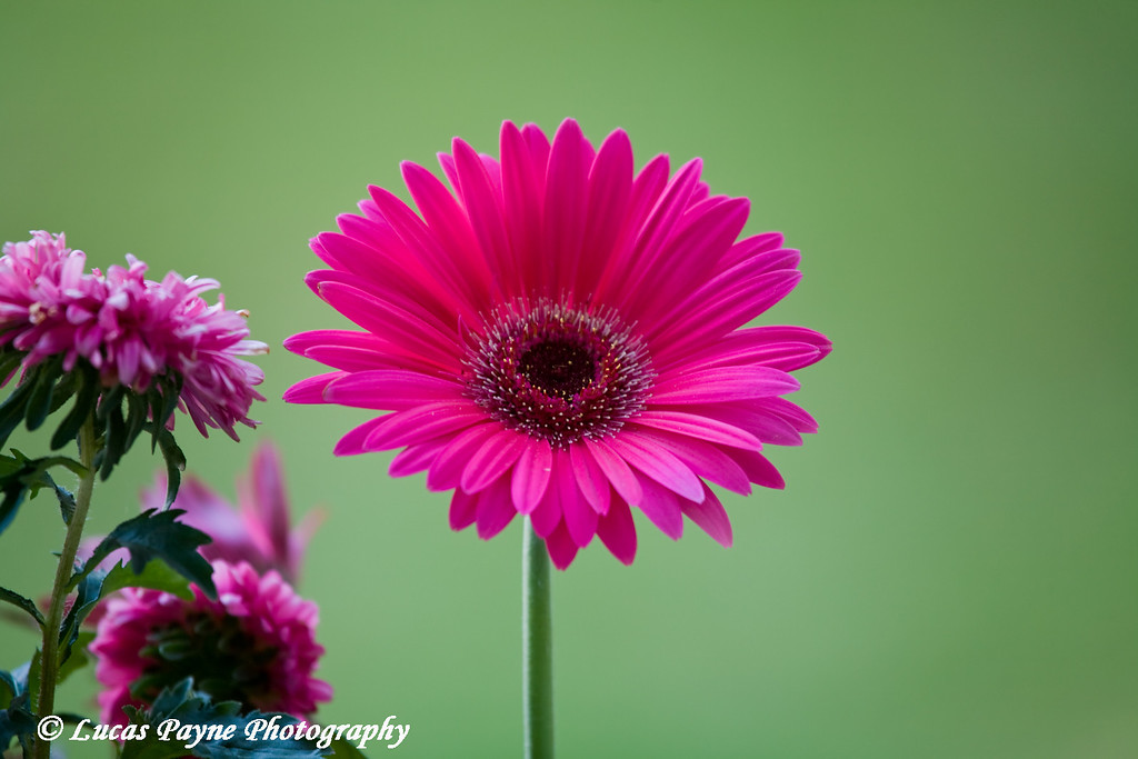 Gerbera Daisy<br /> June 29, 2008