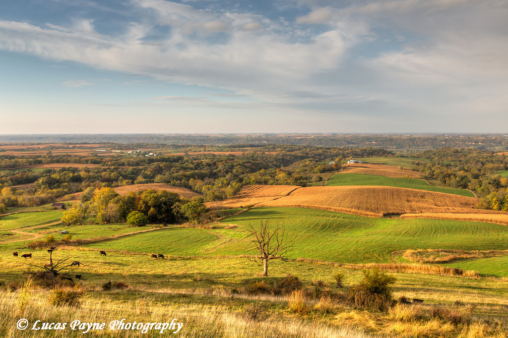 Scenic view of cattle grazing on the rolling hills along the Great River Road near Balltown in Northeast Iowa.<br /> <br /> October 20, 2013