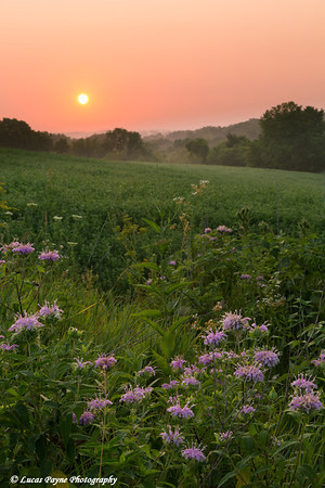 Wild Bergamot along a rural road at sunrise near Edgewood in Northeast Iowa<br /> <br /> July 05, 2012