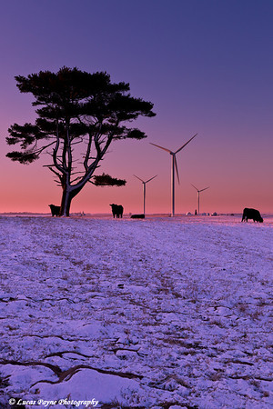 Cattle standing in a field at sunrise with the Elk Wind Energy Farm Wind Turbines in the background near Edgewood in Northeast Iowa<br /> December 23, 2011