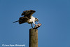 An Osprey feeding on a fish along the Mississippi River near Dubuque, Iowa.<br /> August 31, 2008