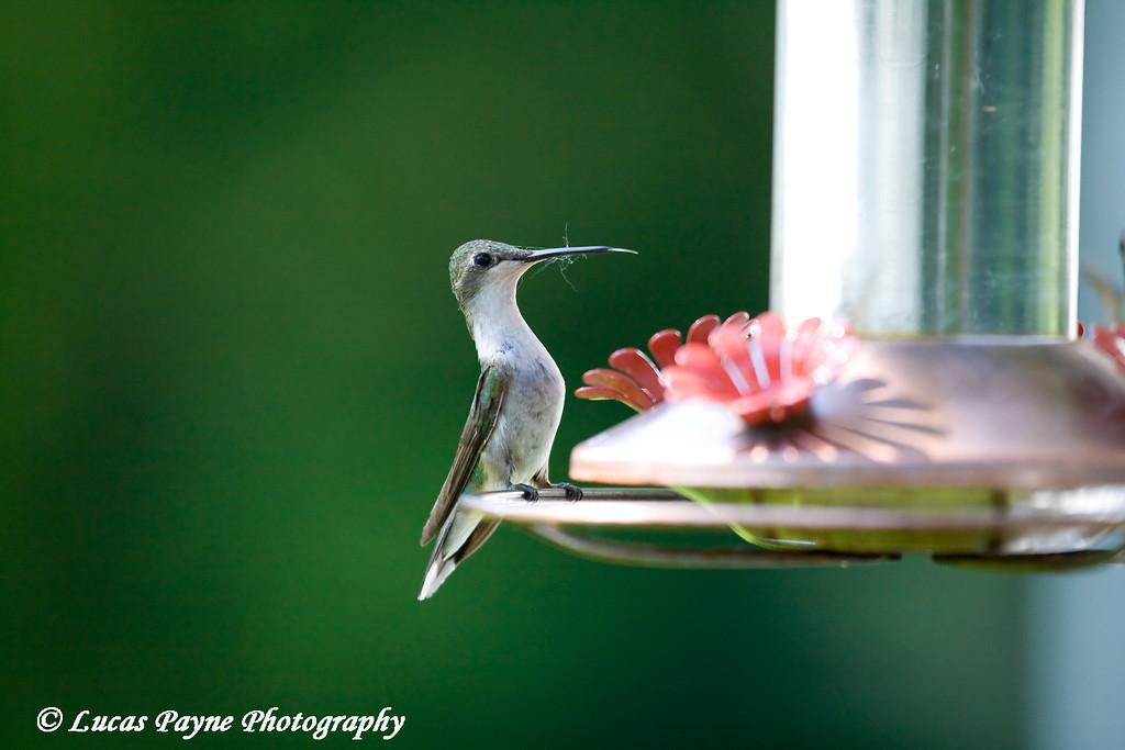 Hummingbird<br /> June 20, 2008