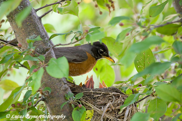 A Robin and her young in Edgewood, Iowa.<br /> June 7, 2008