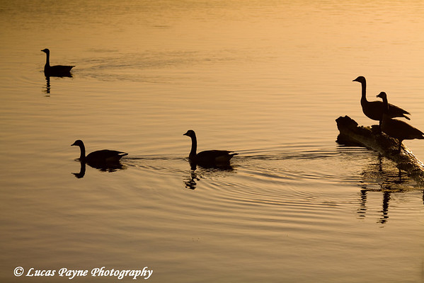 Geese at sunrise on the Mississippi River at Mud Lake near Dubuque, Iowa. <br /> April 09, 2010