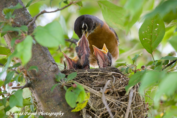 A Robin feeding her young in Edgewood, Iowa.<br /> June 7, 2008