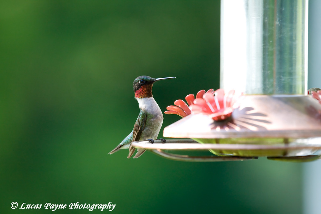 Hummingbird<br /> June 20, 2008