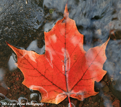 Maple Leaf In Chester Creek Duluth, MN