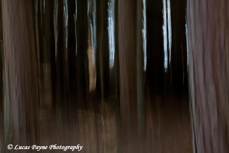 Vertical pan of a stand of pine trees.