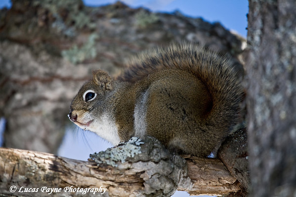 Squirrel At Jay Cooke State Park<br /> Minnesota