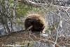 Porcupine At Jay Cooke State Park <br /> Minnesota