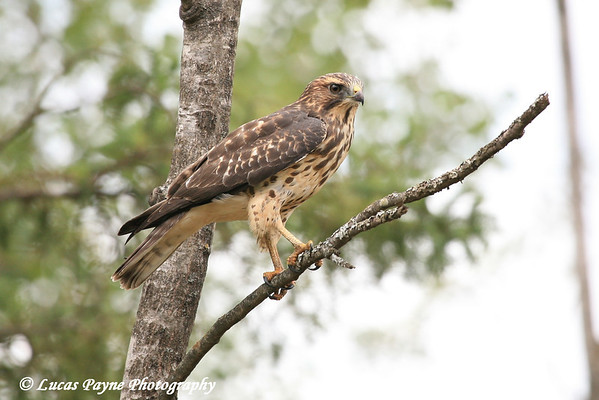 Broad-winged Hawk In Minnesota