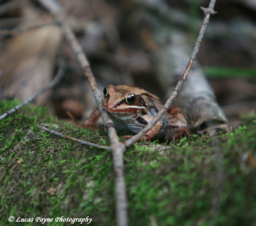 Wood Frog In Northeast Minnesota