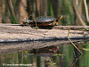 Painted Turtle In Minnesota