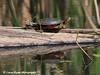 Painted Turtle In Minnesota