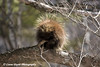 Porcupine At Jay Cooke State Park <br /> Minnesota