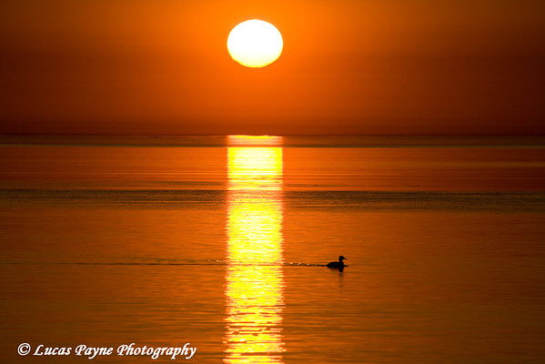 A loon swimming in Lake Superior at sunrise.<br /> April 2008