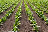 Rows of tobacco plants in a Wisconsin field