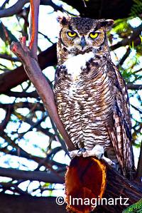 Great Horned Owl of Ahwatukee, AZ